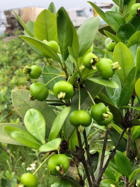 Cherry Brazil loaị cây thích hợp trồng nhiệt đới 56835654_805524383149210_4970123785425387520_n