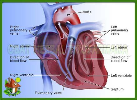 jantung koroner, jantung lemah, serangan jantung, organ jantung