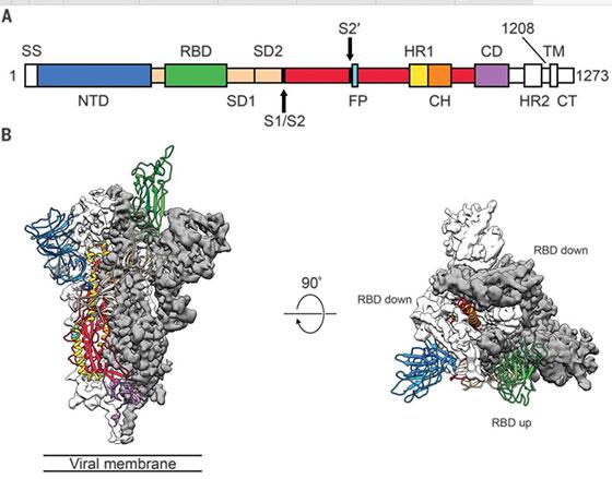 Cryo-EM micrographs of virus including Receptor Binding Domains (RDB) (Source: sciencemag.org)