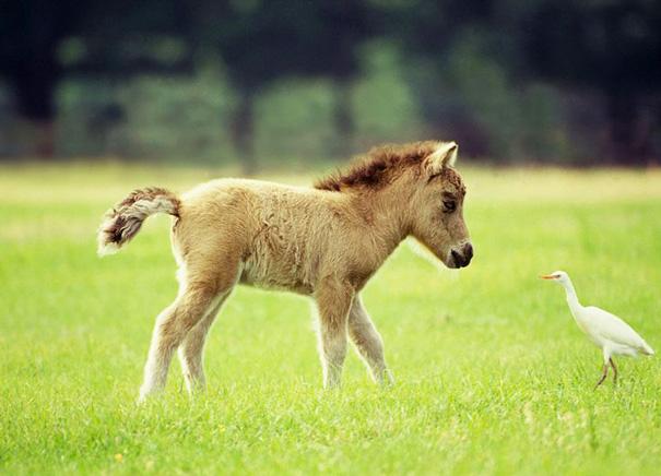 Miniature Horse-1