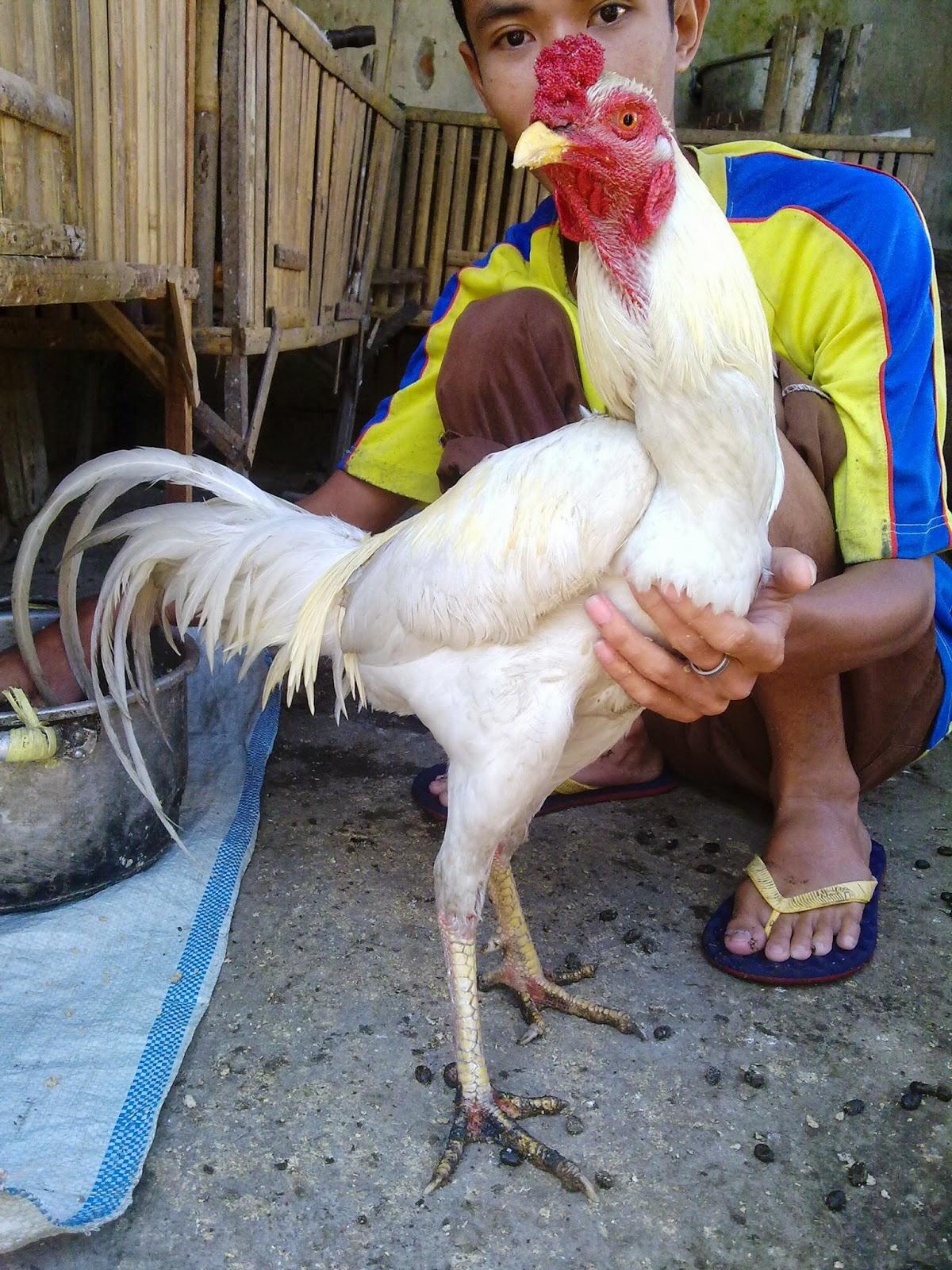 Manfaat Dan Khasiat Ayam Jago Putih Mulus | Jual Tas Ayam