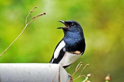 Kumpulan Resep Rahasiah Burung Kacer Aduan Yang Sering Menang Di Setiap Ajang Perlombaan Paling Lengkap