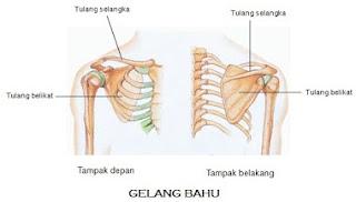 rangka tulang bahu