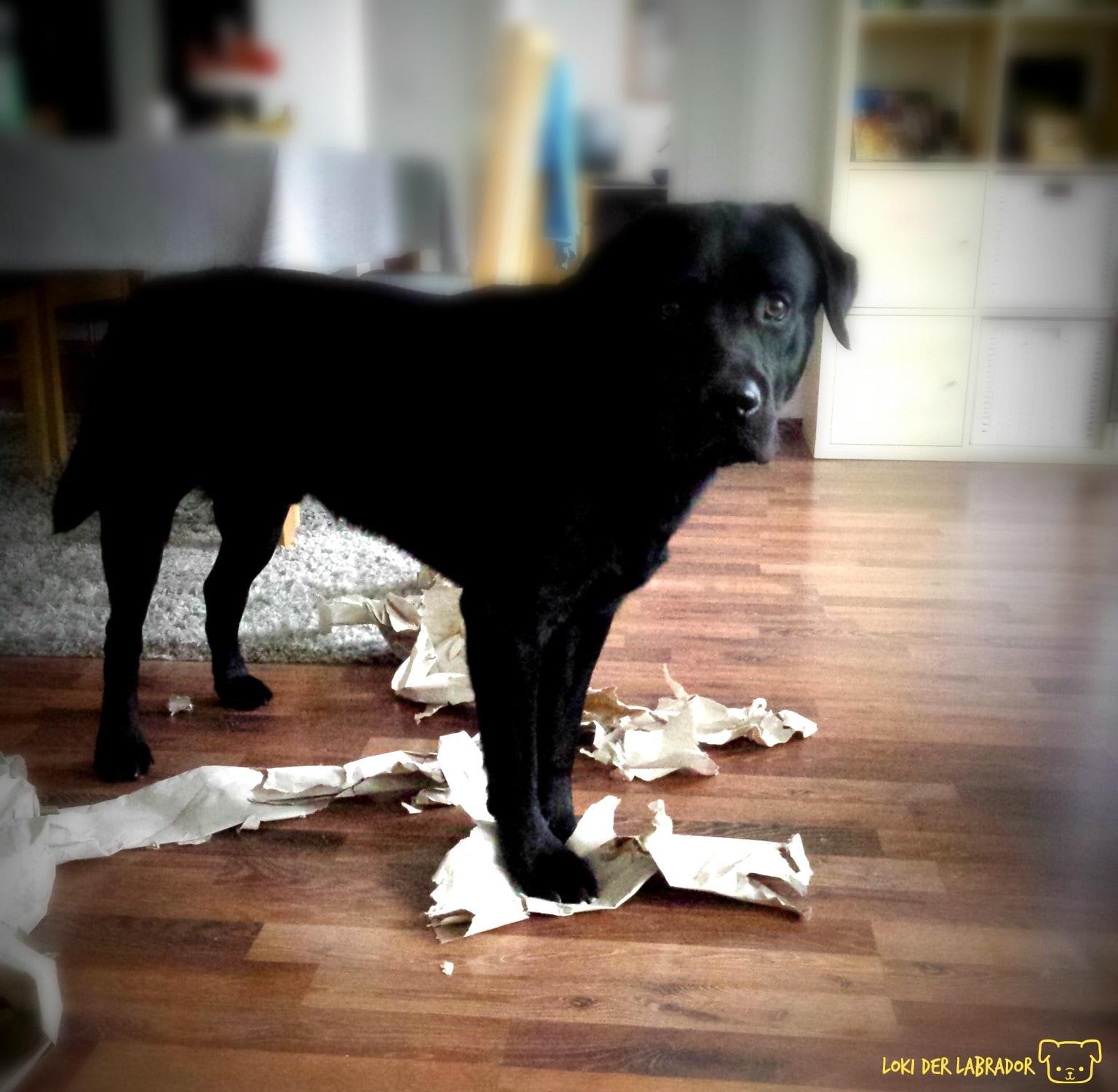 Schwarzer Labrador Zerstörungswut