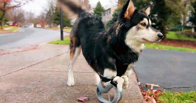 Этот пес впервые в жизни испытывает радость от бега… Всё благодаря новым 3D протезам!
