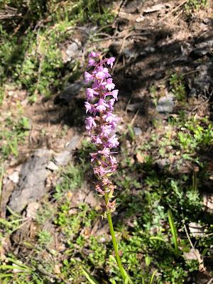 [Orchidaceae] Gymnadenia conopsea - Fragrant Orchid (Manina rosea).