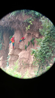 green parrots + scarlett macaws @ Tombopato macaw claylick