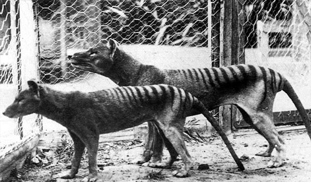 tasmanian-tigers-with-half-dog-half-tiger