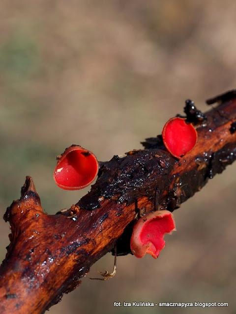 czarka austriacka, sacroscypha austriaca, grzyby jadalne, grzyby chronione, grzyb, grzybek, las, prosto z lasu, grzybnięta, atlas grzybow, jaki to grzyb, grzybobranie, wiosna