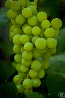 fine art photograph of a bunch of green grapes on a vine in Pocatello, Bannock, Idaho by Cramer Imaging
