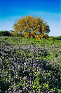 Gambar Bunga Akasia yang Indah 25