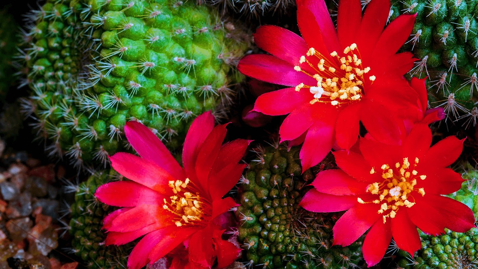 Download Cactus Flowers, Tema per Windows 10