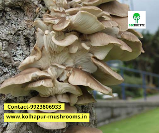 Mushroom AD powder price