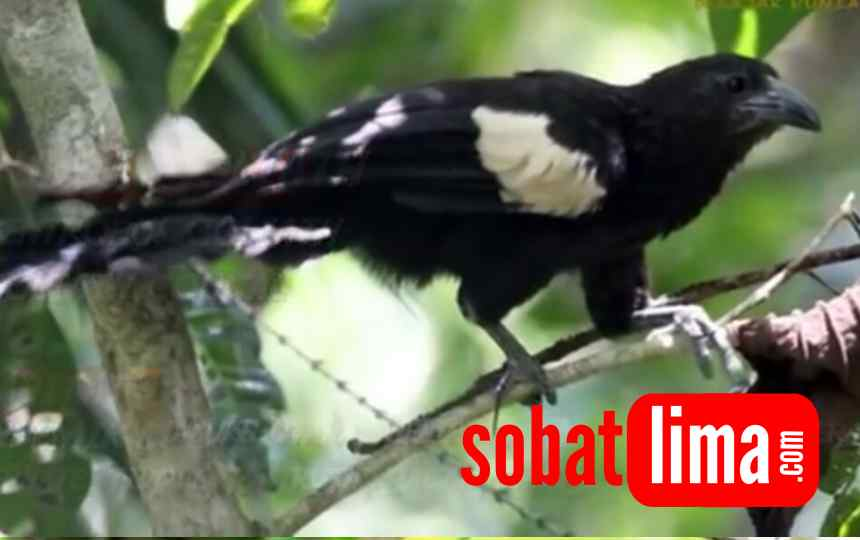 Jenis Burung Bubut Di Indonesia Bagian 2 Sobat Lima