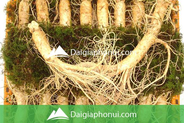 Nhân Sâm 15-16-17-18 Củ 1 Kg - Dai Gia Pho Nui