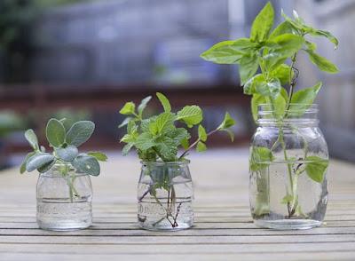 cara mudah stek tanaman dengan media air