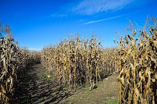 A cornfield maze | Nearby hotels Ann Arbor