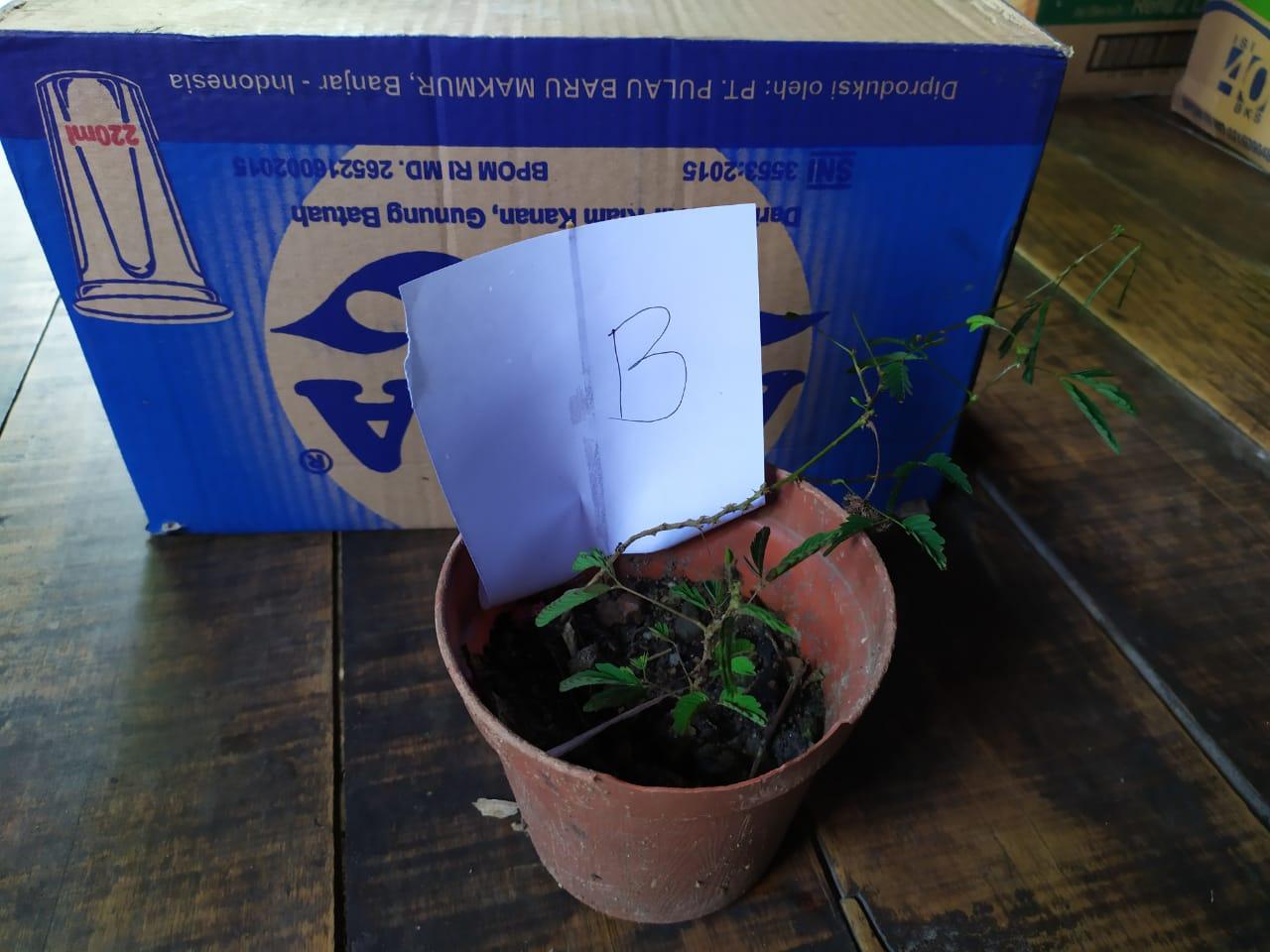 Praktikum Ipa Di Sd Gerak Niktinasti Pada Tumbuhan Putri Malu Atau Mimosa Pudica Wahyudiansyah