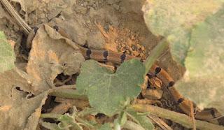 Oligodon arnensis, Common Kukri