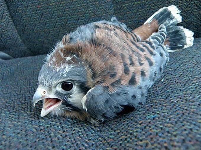 gambar anak burung helang