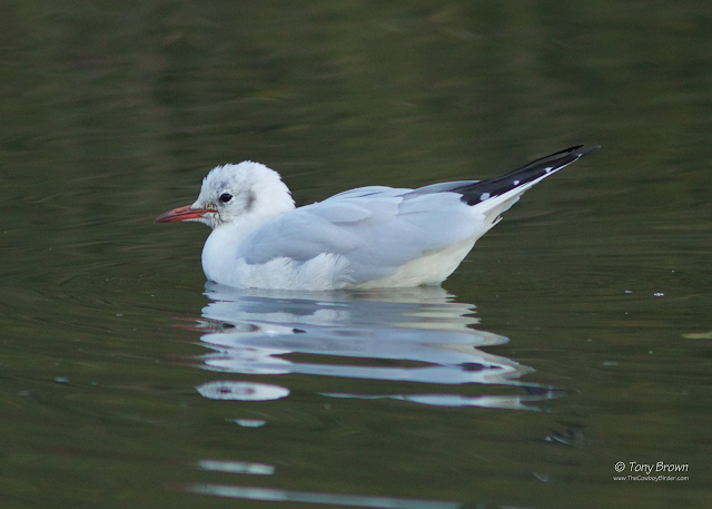 Adult, Winter Plumage