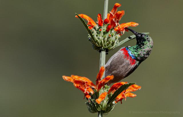 Southern double-collared sunbird - Kirstenbosch National Botanical Garden