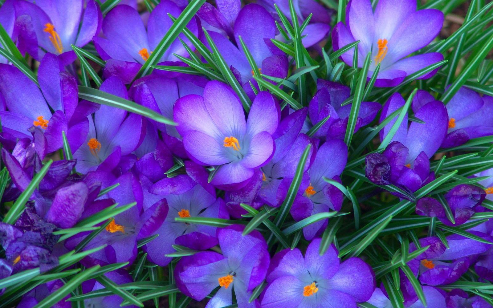 purple flower desktop wallpaper - photo #11