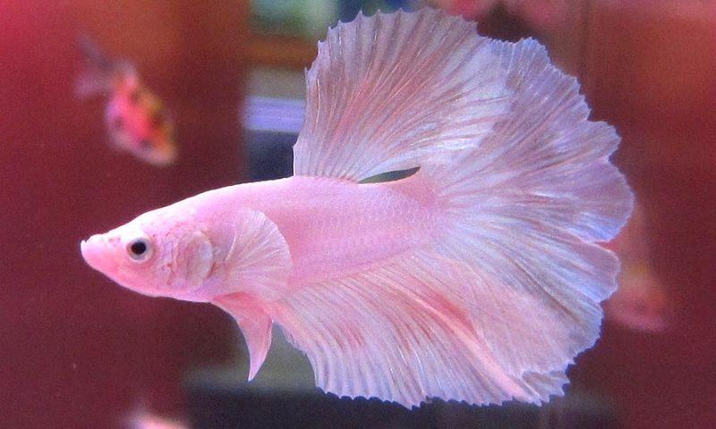 Image Pink Betta Fish