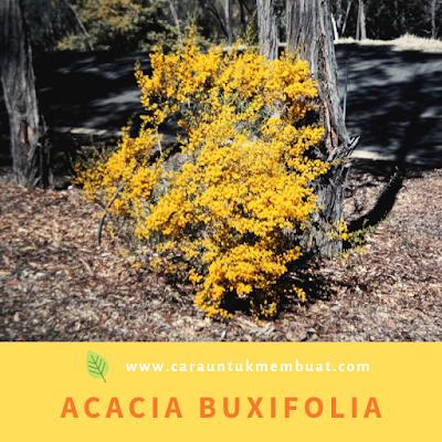 Acacia Buxifolia