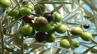 Olive fruit images wallpaper