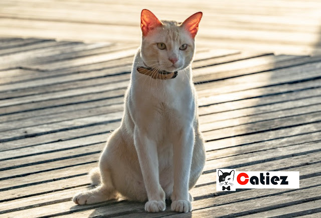 Asian Cat - all you want to know about Asian Cats