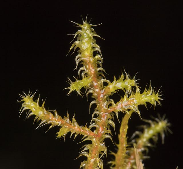 Rhytidiadelphus squarrosus, Springy Turf-moss.  Hayes Common, 9 March 2016.