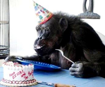 Imagen de la Mona Chita comiendo pastel