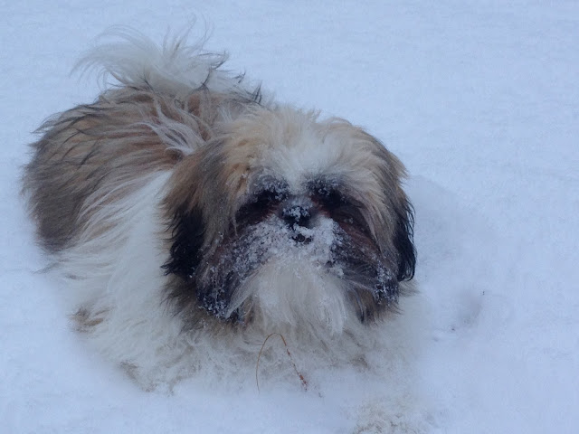 Shih Tzu puppy in the snow with snow all over his face