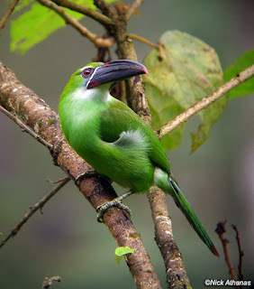Chestnut tipped Toucanet