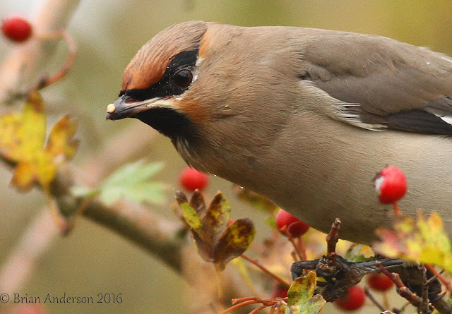 Finding Waxwings in Norfolk