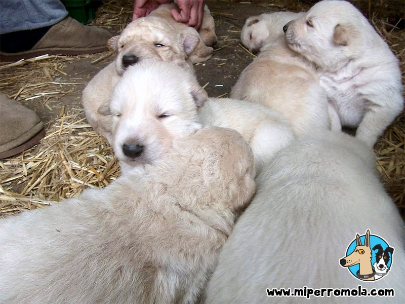 Cachorritos de Can de Palleiro