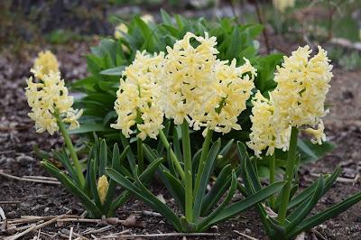 Hyacint 'Gipsy Qween'