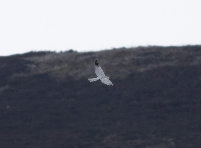 Pallid Harrier - Forest of Bowland, Lancashire