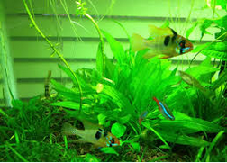 Mencampur German Blue Ram Fish dan tetra