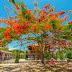 Selain Untuk Memperindah Kota, Bunga Pohon Flamboyan Sangat Berkhasiat Bagi Kesehatan