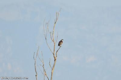 Àguila pescadora