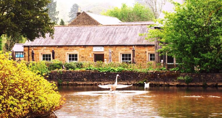 Angry Swan?