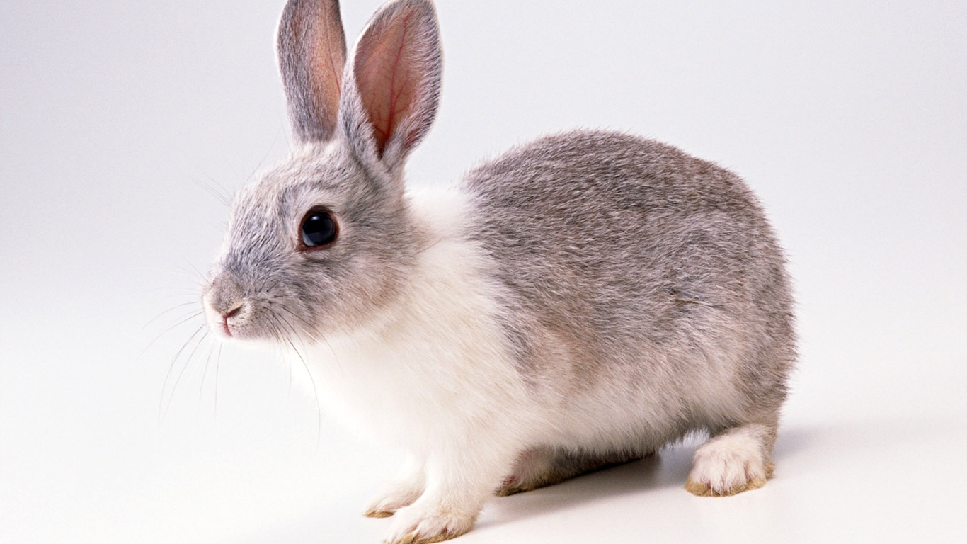 cute rabbit wallpaper - photo #20
