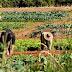 Governo do Estado dispensa mais de 42 mil agricultores familiares do pagamento de sementes do programa Hora de Plantar