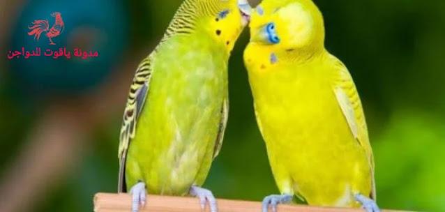 تربية طيور البادجى|كل مايخص تربية عصافير الإسترالى