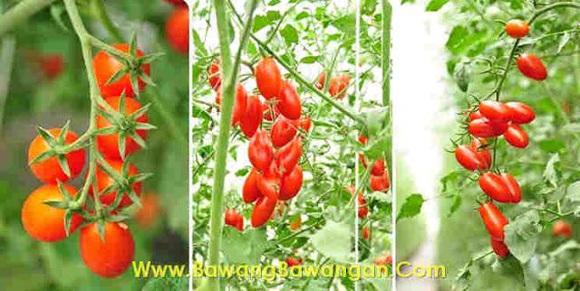 cara Menanam Tomat agar Berbuah Banyak