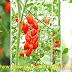 Cara Menanam Tomat Lengkap Sampai Panen