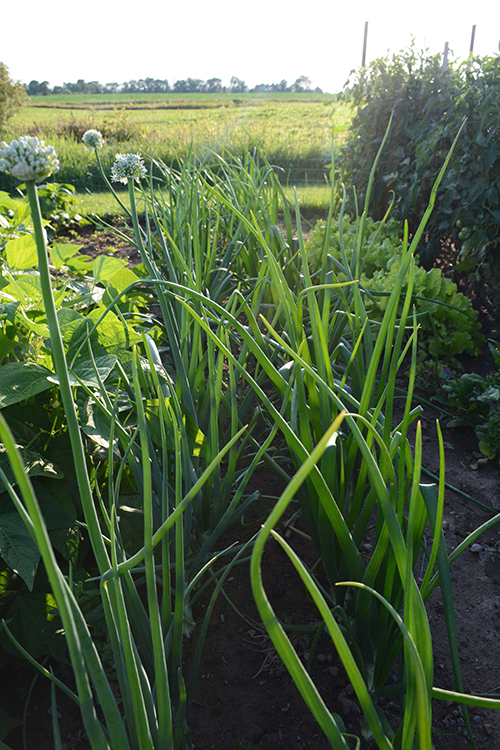 Gardening; Onions | My Darling Days
