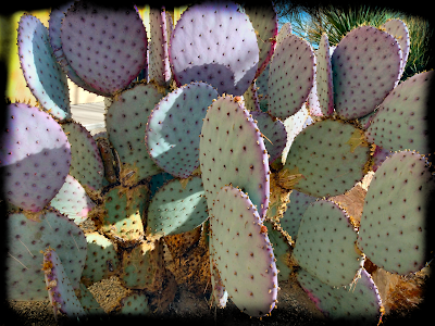 purple cactus santa rita prickly pear